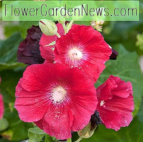 Alcea rosea 'Mars Magic' (Hollyhock)