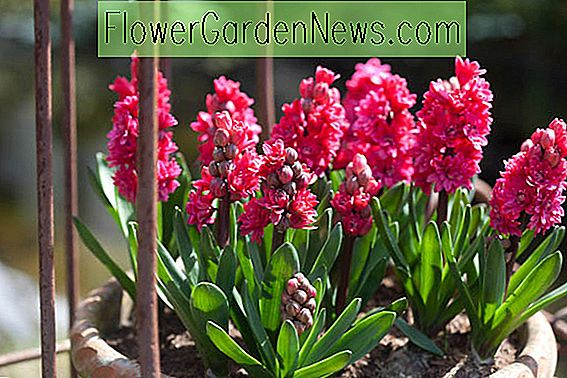 Hyacinthus Orientalis 'Hollyhock', Hyacinth Hollyhock ', Double-Flowered Hyacinth, Dutch Hyacinth, Hyacinthus Orientalis, Common Hyacinth, Spring Bulbs, Spring Flowers, pink hyacinth, pink flowers