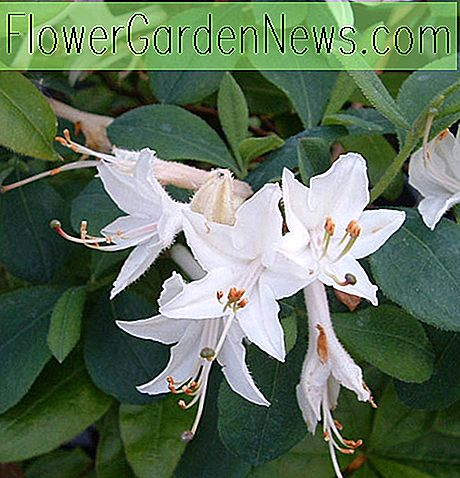 Rhododendron 'Fragrant Star'