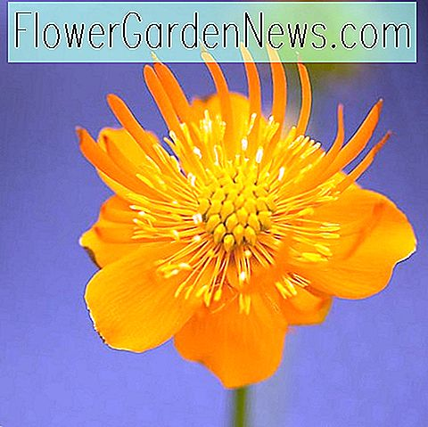 Trollius chinensis 'Golden Queen' (Globe Flower)