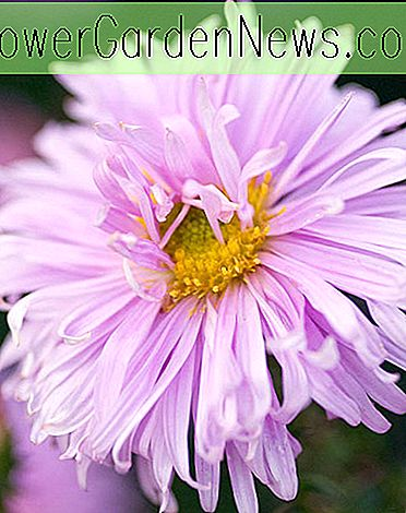 Aster novi-belgii 'Gemeinschaft' (New York Asters)