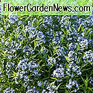 Amsonia Tabernaemontana, blauer Stern, Willow Amsonia, blaues Hundebann, Willow Blue Star, blaue Blumen