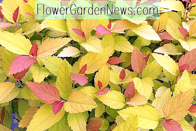 Spiraea 'Double Play Candy Corn' (Spirea japonesa)
