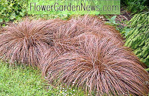 Carex Comans Bronze-Leaved, Bronze New Zealand Haarsege, Carex Comans 'Bronze Form', Carex Comans Braun, Carex Flagellifera 'Bronze Form', Carex 'Comans Bronze', Ziergräser, Ziergras, dekorative Gräser, Gräser, mehrjährige Gräser