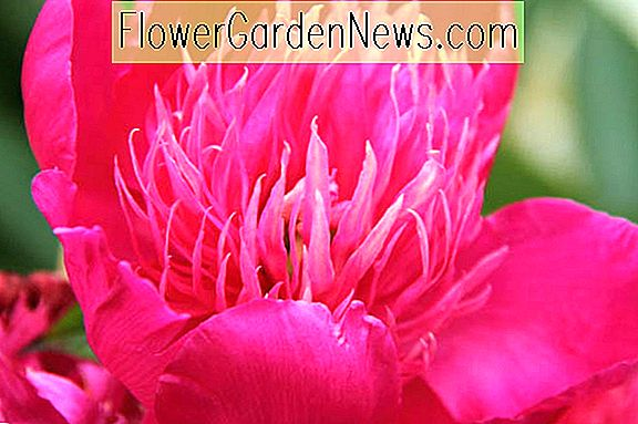 Paeonia 'Red Spider' (Peony)