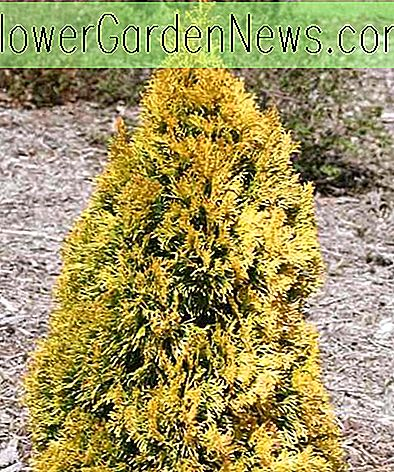 Thuja occidentalis 'Filips Magic Moment' (Amerikanische Arborvitae)