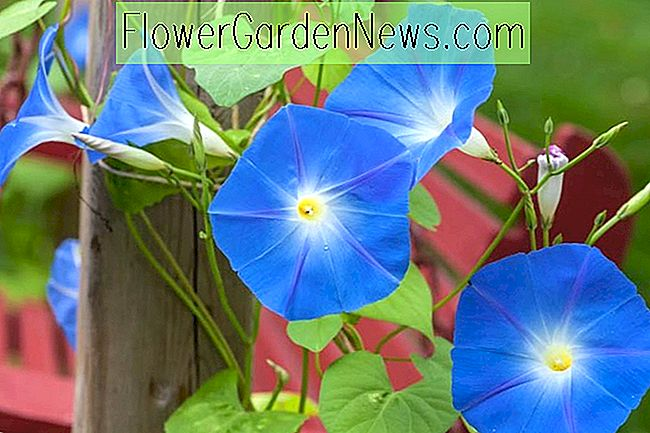 Ipomoea tricolor 'Himmlisches Blau' (Morning Glory)
