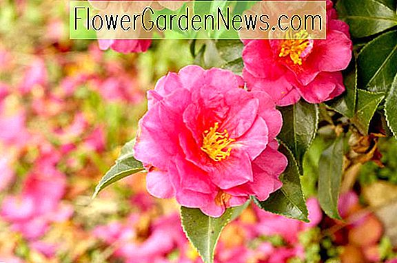 Fall Blooming Camellias