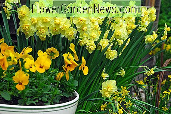 Narcissus 'Yellow Cheerfulness' (Double Daffodil)