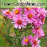 Aster Novae-Angliae 'Harrington's Pink', New England Aster 'Harrington's Pink', Michaelmas Daisy 'Harrington's Pink', Symphyotrichum Novae-Angliae 'Harrington's Pink', roze aster