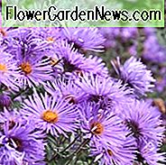 Aster Novae-Angliae 'Purple Cloud', New England Aster 'Purple Cloud', Michaelmas Daisy 'Purple Cloud', Symphyotrichum Novae-Angliae 'Purple Cloud', paarse aster, violet aster