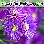 Aster Novae-Angliae 'Purple Dome', New England Aster 'Purple Dome', Michaelmas Daisy 'Purple Dome', Symphyotrichum Novae-Angliae 'Purple Dome', paarse aster, violet aster