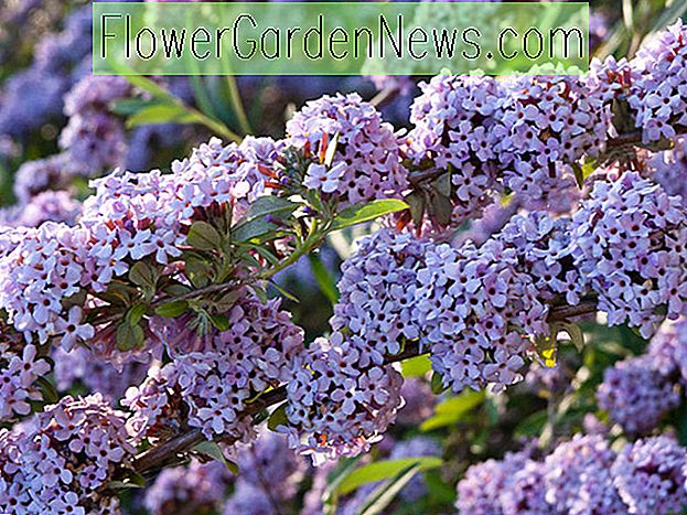 Buddleja alternifolia, Altern-Leaved Butterfly Bush, Brunnen-Schmetterlings-Bush, weinender Schmetterlings-Bush, laubwechselnder Strauch, lila Blumen, purpurrote Blumen, wohlriechender Strauch