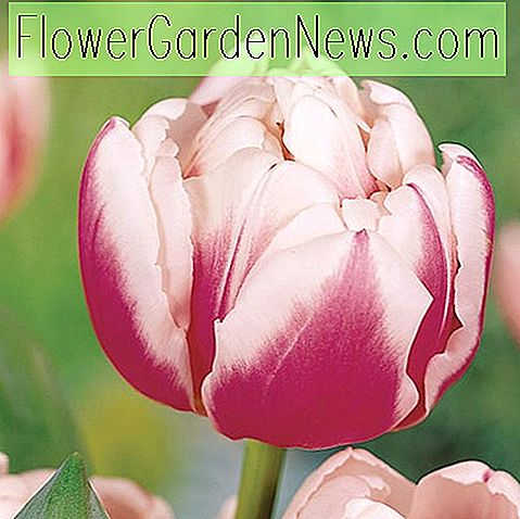 Tulipa 'Melrose' (Double Early Tulip)
