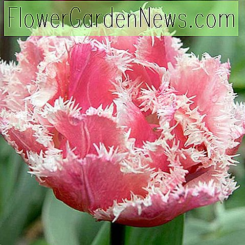 Tulipa 'Queensland', Tulip 'Queensland', Fringed Tulip 'Queensland', Fringed Tulips, Spring Bulbs, Lentebloemen, roze tulpen, Tulp Dentelle