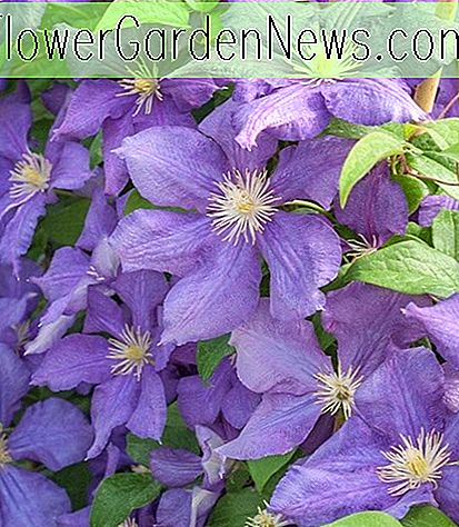 Clematis 'Luther Burbank' (Late Large-Flowered Clematis)