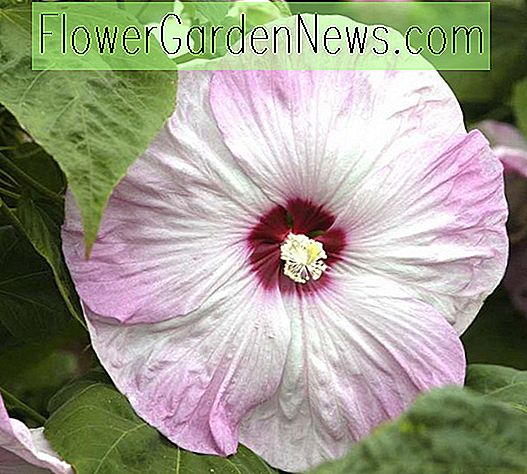 Hibiscus moscheutos 'Southern Belle' (Hardy Hibiscus)