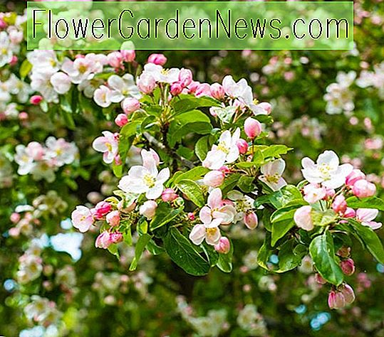 Malus 'Evereste' (Crabapple)