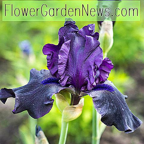 Iris 'Hello Darkness' (Bearded Iris)