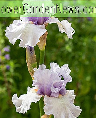 Iris 'Fogbound' (Bearded Iris)
