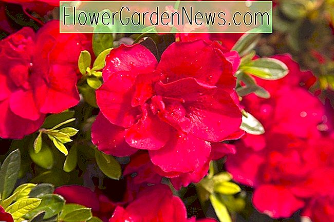 Rhododendron 'Autumn Bonfire' (Encore Azalea Series)