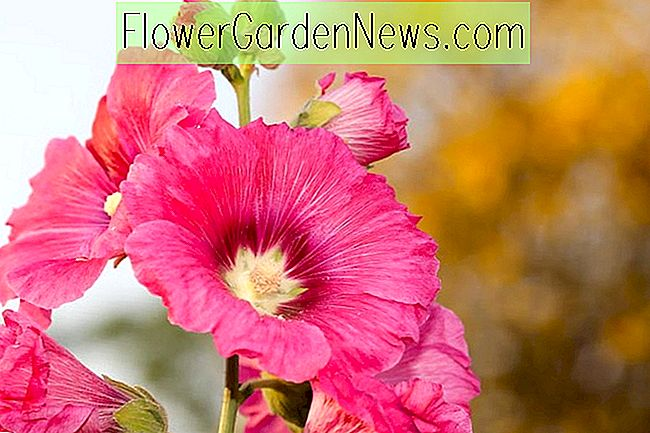 Alcea rosea 'Radiant Rose' (Hollyhock)