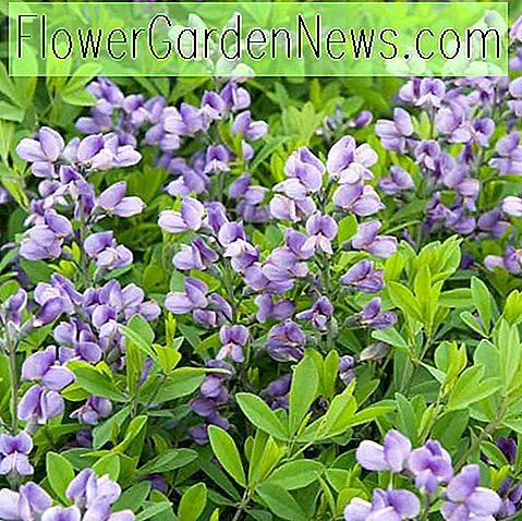 Baptisia Purple Smoke, Falsche Indigo Purple Smoke, Bastard Lupine Purple Smoke, blaue falsche Indigo, falsche Lupine Purple Smoke, lila falsche Indigo