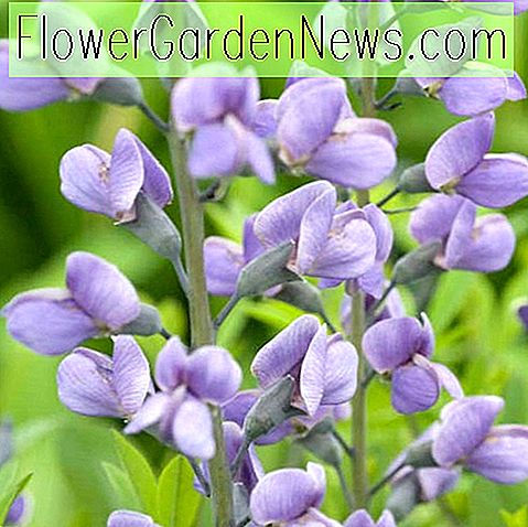 Baptisia 'Purple Smoke' (Falscher Indigo)