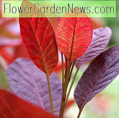 Cotinus coggygria 'Royal Purple' (Smokebush)