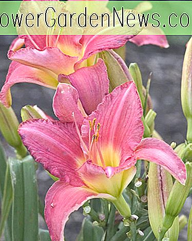 Hemerocallis 'Pretty in Pink' (Taglilie)