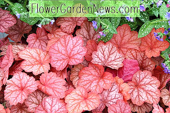 Heuchera 'Georgia Peach' (Korallenglocken)
