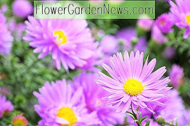 Aster novi-belgii (Asters de New York)