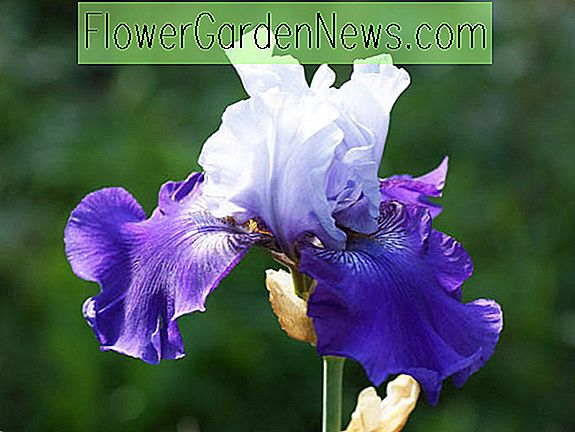 Iris 'Best Bet' (Reblooming Bearded Iris)