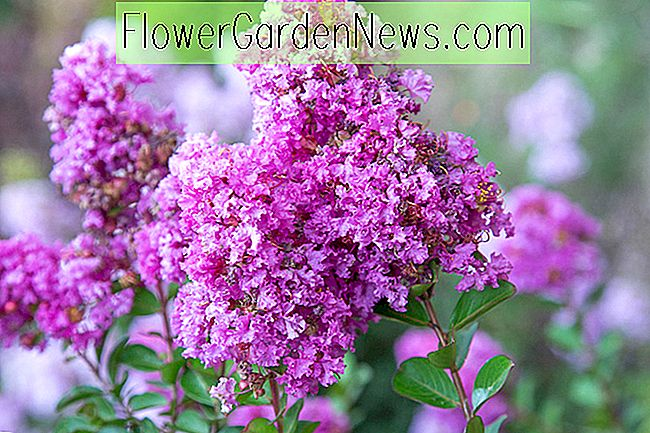 Lagerstroemia 'Early Bird Purple' (Krappmyrte)
