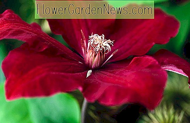 Clematis 'Rouge Cardinal' (Late Large-Flowered Clematis)