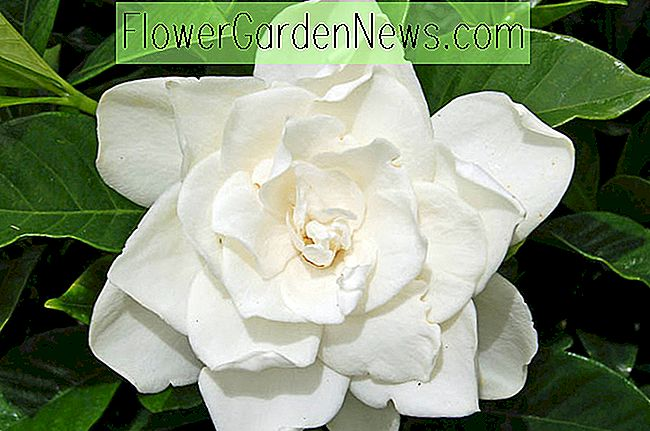Gardenia jasminoides 'Coconut Magic' (Kap Jasmin)