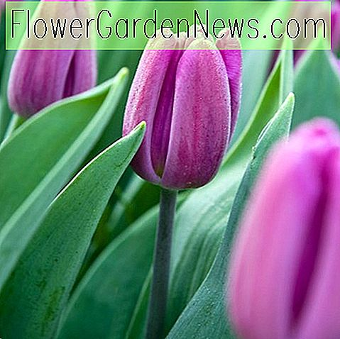 Tulipa 'Purple Flag' (Triumph Tulpe)