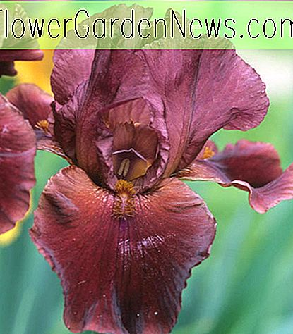 Iris 'Red Rider' (Iris barbu)