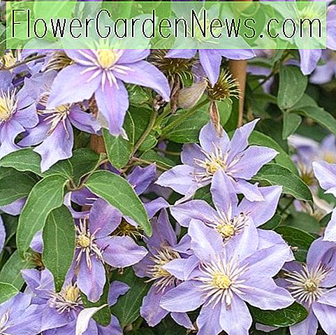 Clematis 'Justa' (Viticella-Gruppe)