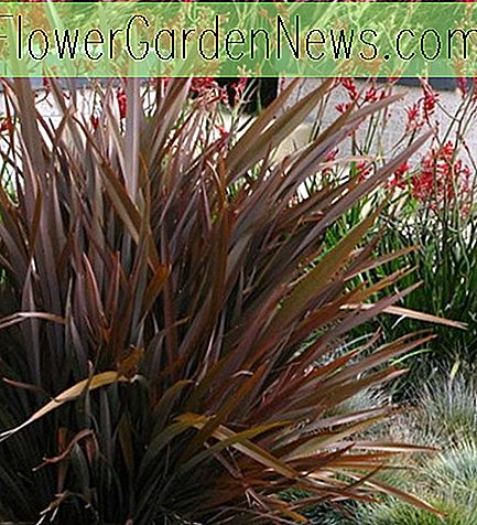 Phormium 'Amazing Red' (New Zealand Lin)