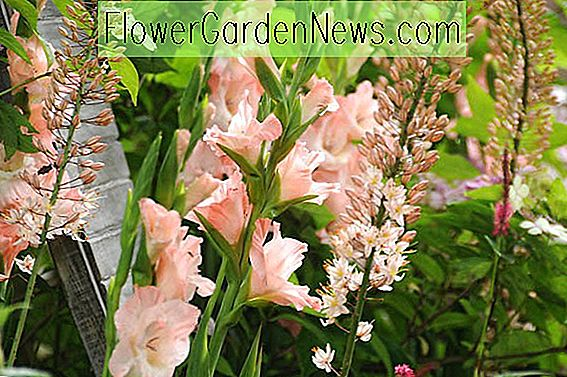 Gladiolus 'Rose Supreme' (Sword-Lily)