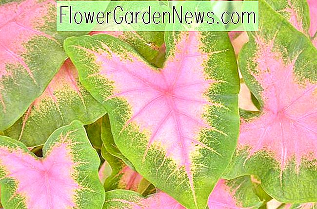 Caladium 'Kathleen' (Angel Wings)