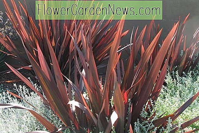 Phormium 'Dark Delight', Nieuw-Zeelandse vlas 'Dark Delight', Flax Lily 'Dark Delight', Dark Phormium, Flax Bush 'Dark Delight', Nieuw-Zeelandse hennep 'Dark Delight', Coastal Flax 'Dark Delight', Red Phormium, Purple Phormium