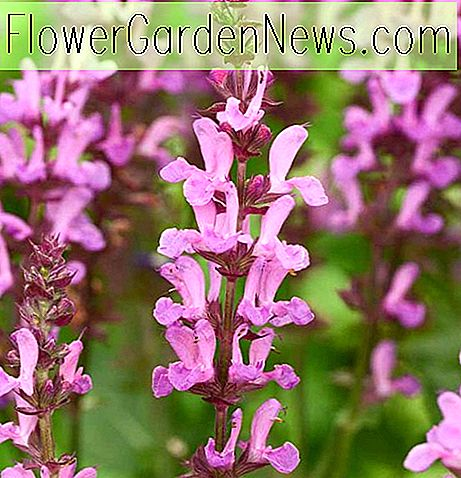 Salvia nemorosa 'Rose Marvel' (Salbei)