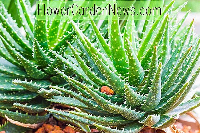 Aloe 'Crosbys Prolific'