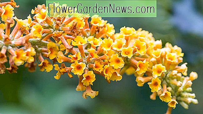 Buddleja × weyeriana 'Honeycomb' (Butterfly Bush)