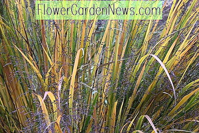 Panicum virgatum 'Northwind' (Switch Grass)