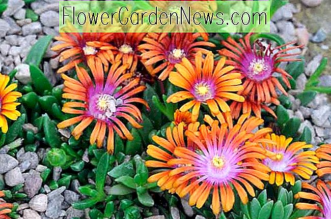 Delosperma 'Fire Spinner' (Ice Plant)