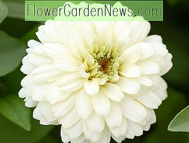 Zinnia Marylandica 'Double Zahara White'