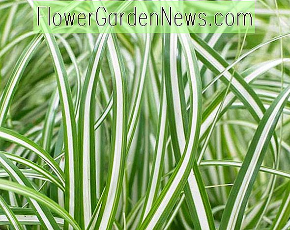 Carex oshimensis 'Everlite' (japanska Sedge)